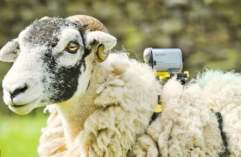 Овцы снимут Тур де Франс